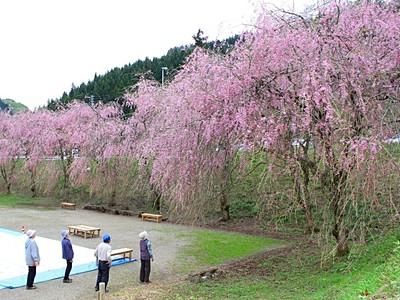 しだれ桜見ごろ 5月6日までまつり 村上・中継