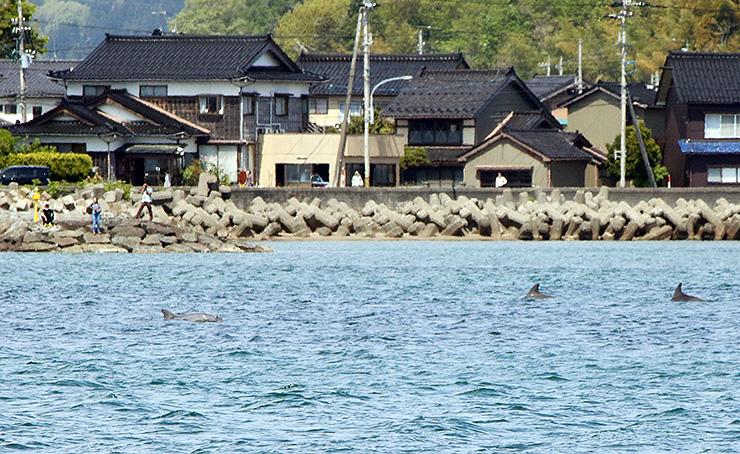 遊覧船から見えるイルカの群れ=氷見市阿尾沖