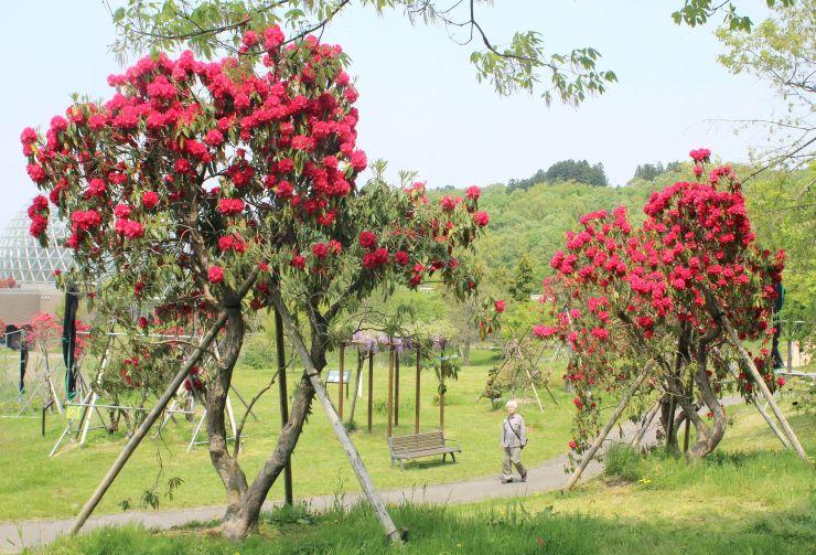 県立植物園の開園20周年を記念して整備され、貴重な大株が並ぶシャクナゲ園=1日、新潟市秋葉区