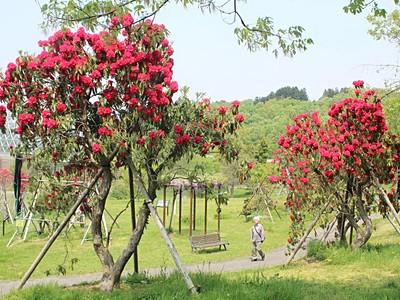 県立植物園にシャクナゲ園 古品種の大株も 新潟市秋葉区