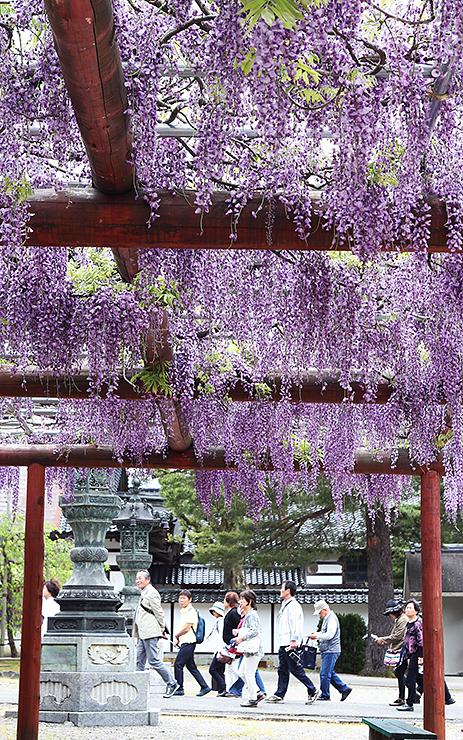 棚いっぱいに花を付けたつるが垂れ下がる=瑞泉寺