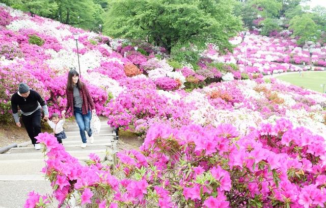見頃を迎え、園内を華やかに彩るツツジ=5月2日、福井県鯖江市西山公園