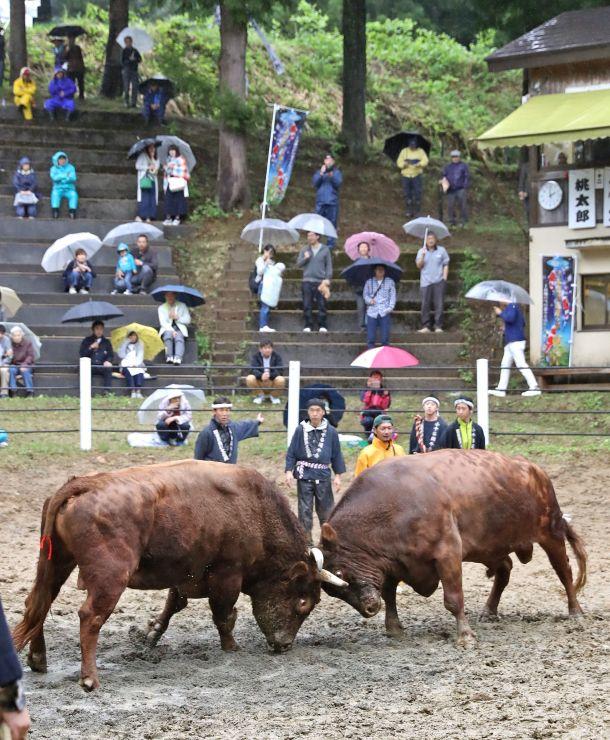 迫力満点の取組が繰り広げられた牛の角突き初場所=3日、小千谷市小栗山