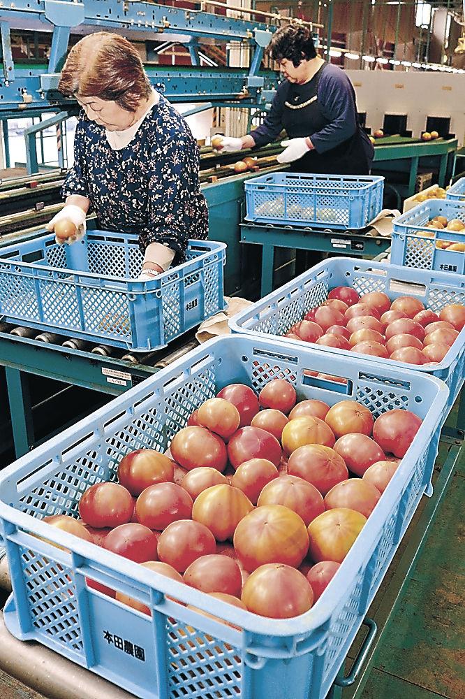出荷が始まった春トマト=JA小松市野菜集出荷場