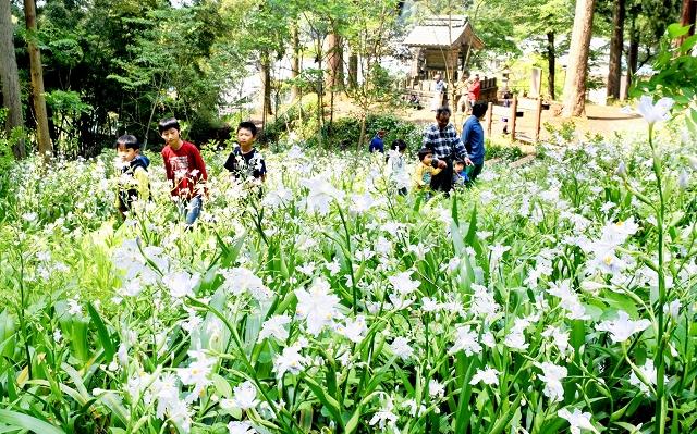 見頃を迎えているシャガの花=5月4日、福井県福井市角原町の角原神社境内