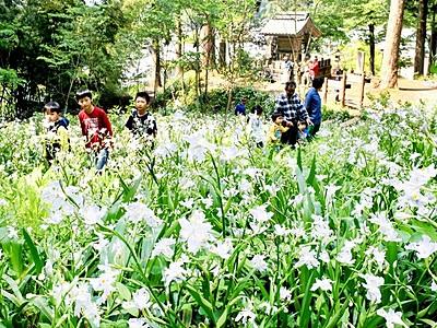 かれんな白、福井でシャガ見頃 角原神社境内、住民が世話