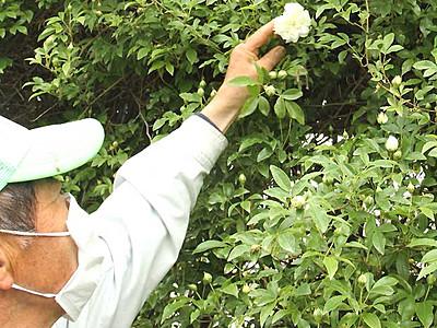 中野のバラ、開花早く 「まつり」19日プレオープン