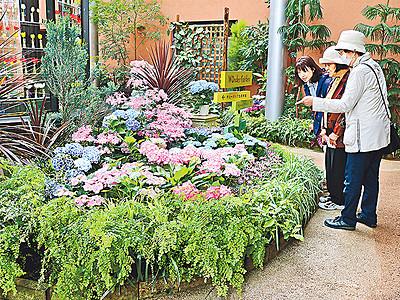 アジサイ咲き誇る 砺波・四季彩館で初夏の展示