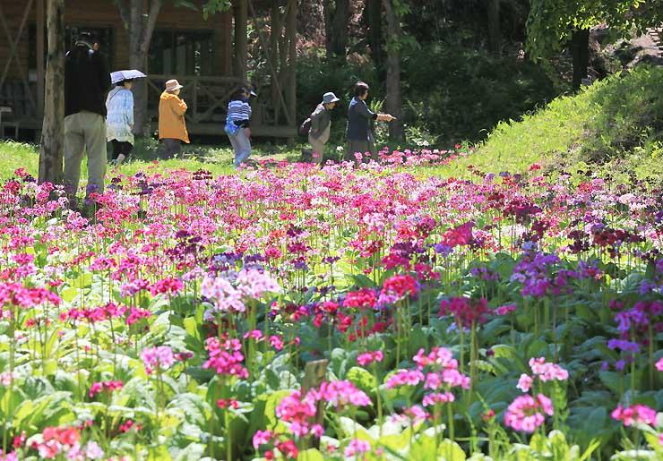 色とりどりのクリンソウが咲く九十九谷森林公園=10日、喬木村小川