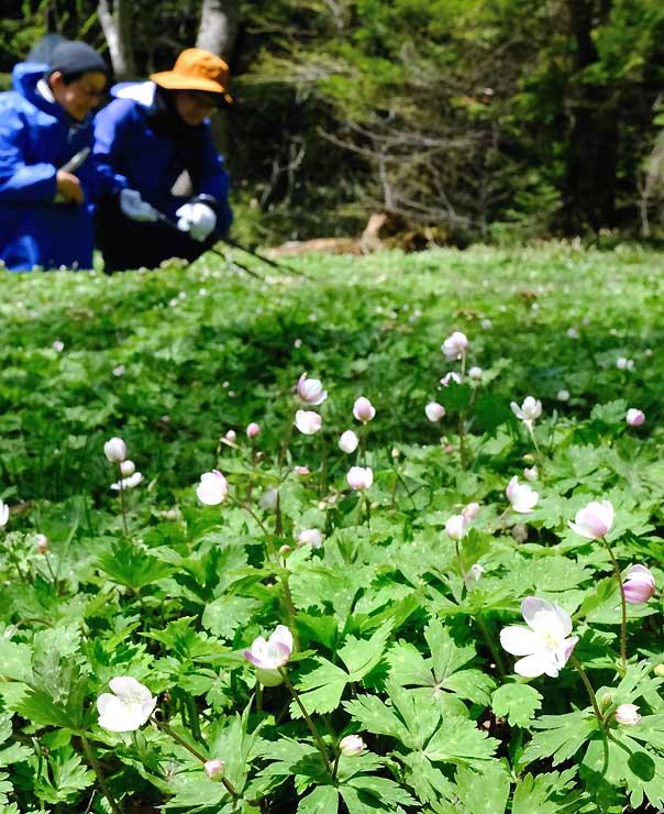 上高地の徳沢キャンプ場周辺で咲き始めたニリンソウ=10日