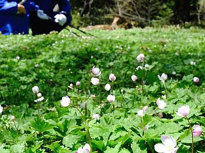 ニリンソウ、花々かれんに 上高地の群生地