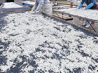 シラス天日干し 美川漁港で今季初水揚げ