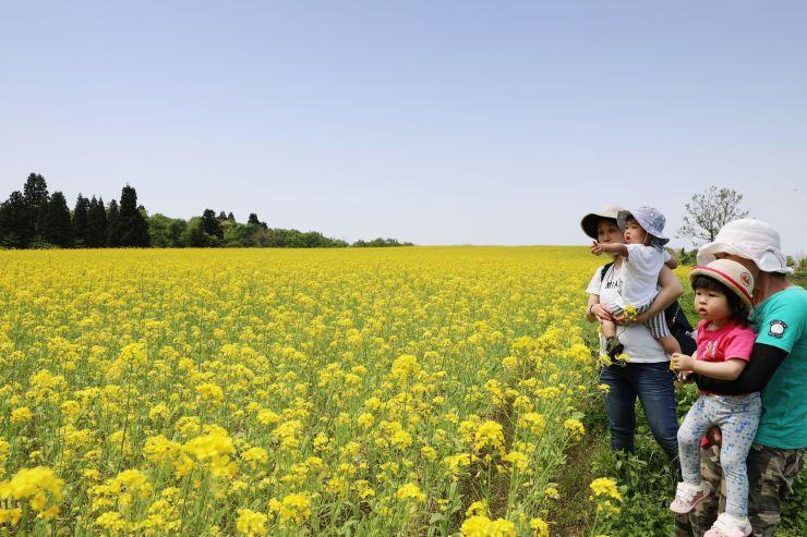 一面が黄色になった山本山高原の菜の花畑=15日、小千谷市山本