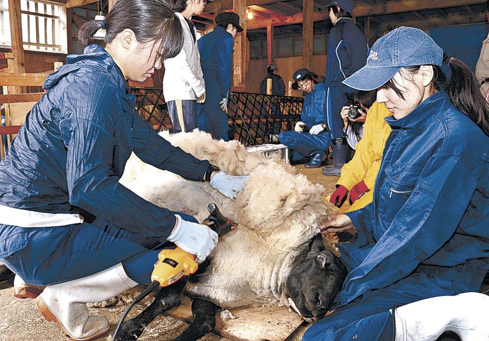 ヒツジの毛刈り作業を進める県立大生=白山市瀬木野町