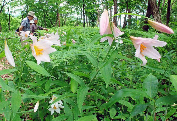 ハイキングコース沿いで、かれんな花を咲かせるヒメサユリ=18日、三条市森町