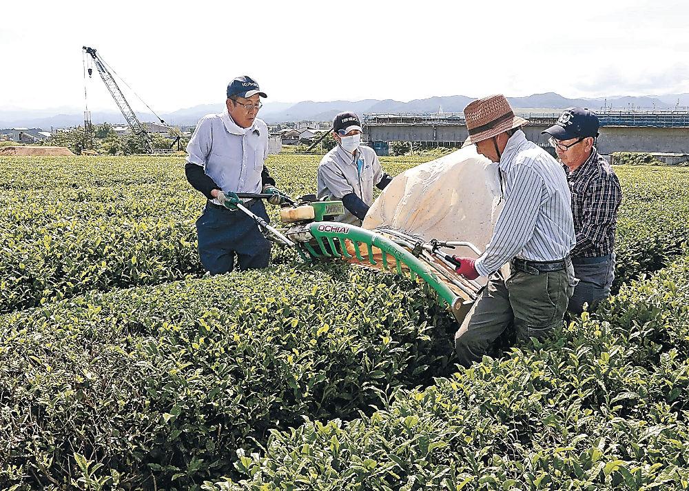 新茶を手際よく刈り取る生産者=加賀市打越町