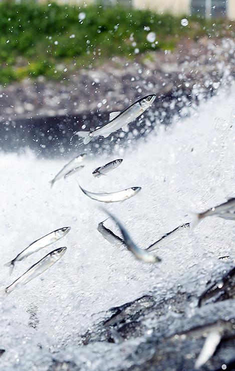 水しぶきの中、勢いよく跳びはねる若アユ=富山市友杉