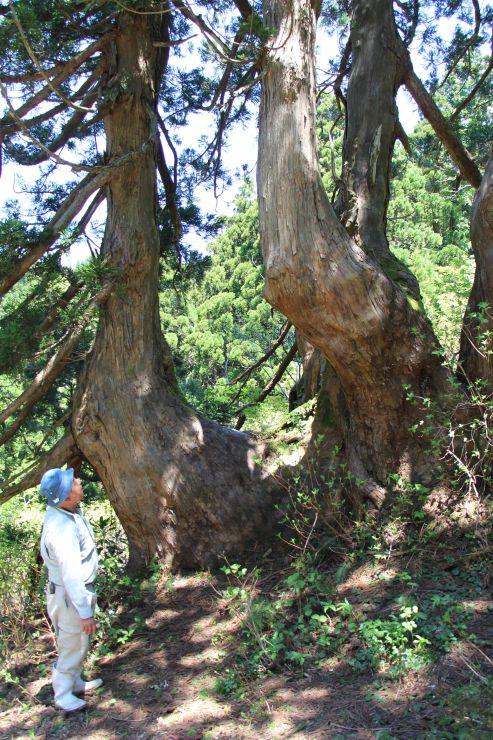 複雑な形の巨木がそびえ立つ大佐渡石名天然杉遊歩道=22日、佐渡市
