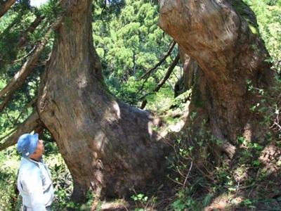 圧巻300歳超す巨木 石名天然杉遊歩道オープン 佐渡
