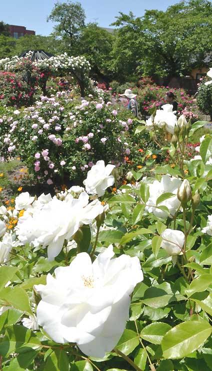 豊科近代美術館の庭園で見頃を迎えたバラ