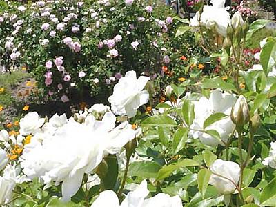 美術館の庭園、バラにうっとり 安曇野で26日から祭り