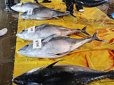 クロマグロ水揚げ 氷見魚市場
