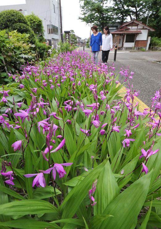 赤紫色の花が群れ咲くシラン=23日、長岡市与板町与板