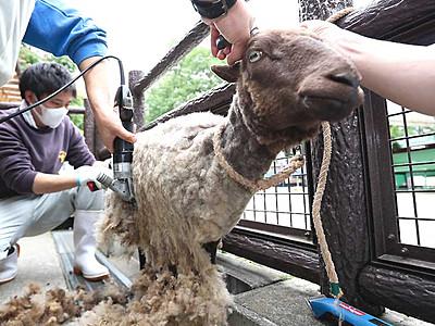 羊、お先に「衣替え」 長野・茶臼山動物園で毛刈り
