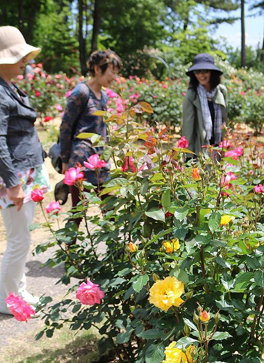 咲き始めたバラ園で散策を楽しむ観光客=氷見あいやまガーデン