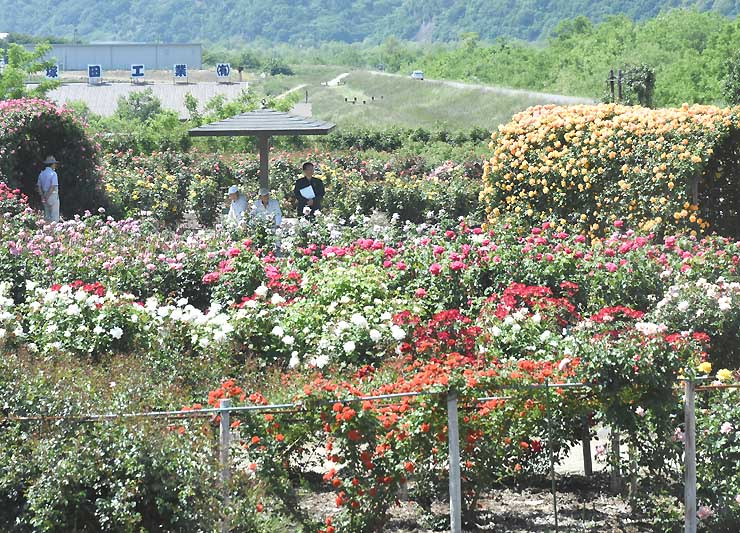 色とりどりのバラが訪れた人を迎えている坂城町のさかき千曲川バラ公園