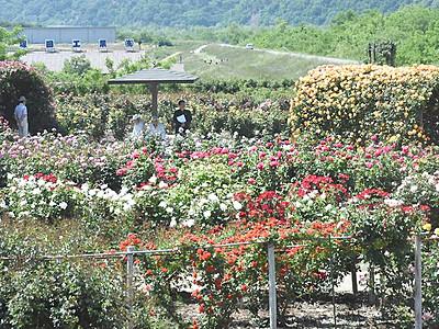 坂城「ばら祭り」26日開幕 展望台から花々を一望
