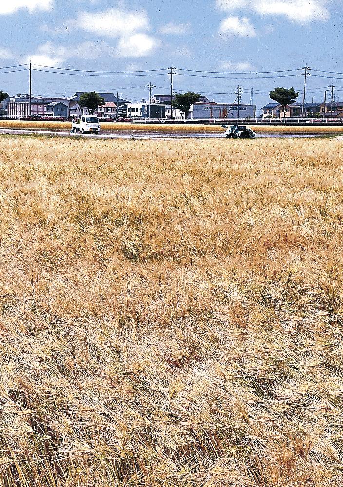 黄金色に実った穂が風に揺れる大麦=川北町壱ツ屋
