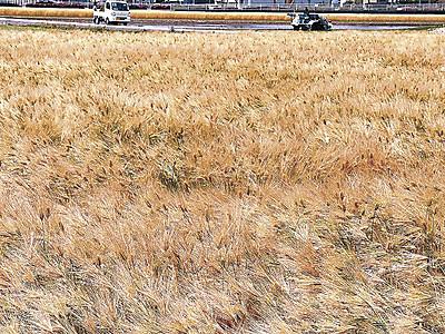 川北の麦畑、黄金色に実る