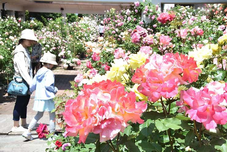 ピンクや黄など鮮やかな色のバラが来訪者を魅了している東御市文化会館