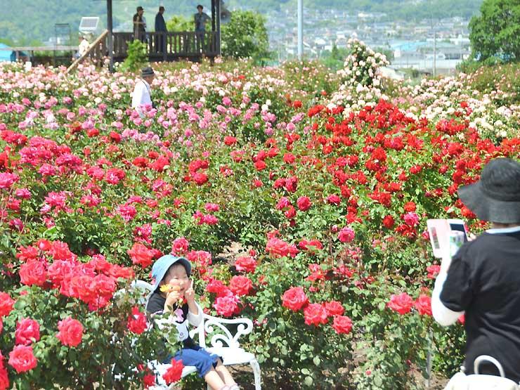 咲き誇る赤いバラの前に座って記念撮影をする子どももいた=27日、坂城町のさかき千曲川バラ公園