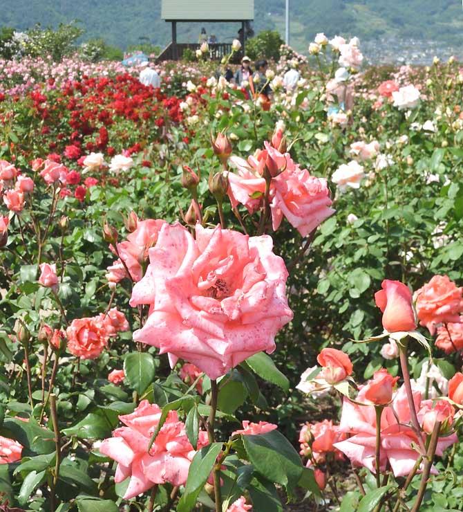 ローズピンクの花を咲かせる坂城町のオリジナル品種「さかきの輝」=27日、坂城町のさかき千曲川バラ公園