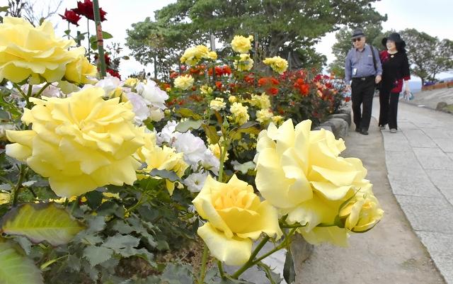 色とりどりのバラが見頃を迎えているレインボーラインの山頂公園=5月29日