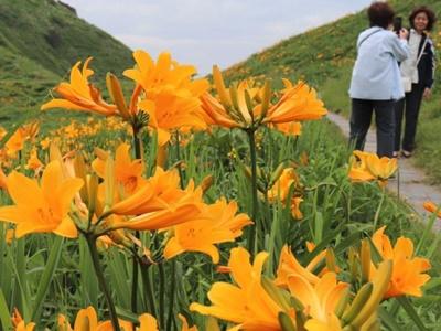 草原に初夏の彩り 佐渡市大野亀でカンゾウ見頃