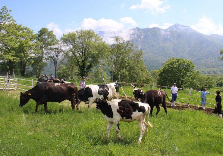 広大な牧草地に放された牛たち=1日、妙高市