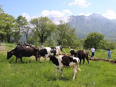 晴天下すくすくと 妙高・笹ケ峰牧場 牛の放牧始まる