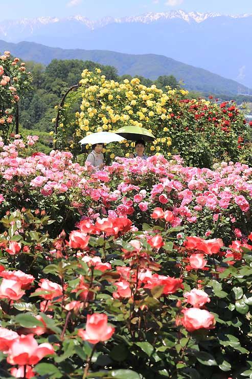 「しんわの丘ローズガーデン」の色とりどりのバラ。奥は残雪の中央アルプスの山々=4日、伊那市高遠町