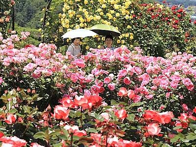 バラ咲き誇り、中アと共演 伊那・高遠町で「祭り」