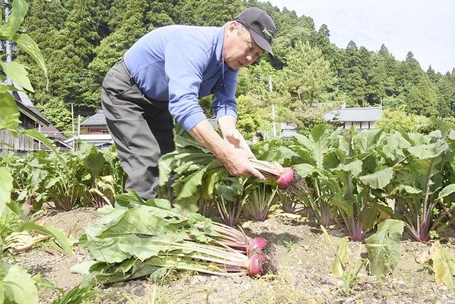 市内外へ出荷が始まった伝統野菜「杉箸アカカンバ」=6月5日、福井県敦賀市杉箸
