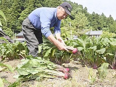 「杉箸アカカンバ」出荷始まる 敦賀の伝統野菜