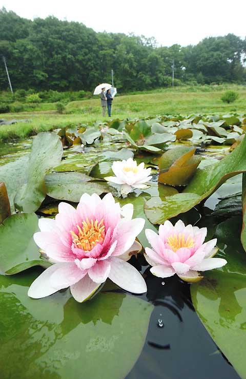 しとしと降る雨にぬれ、花を咲かせたスイレン=6日、富士見町境
