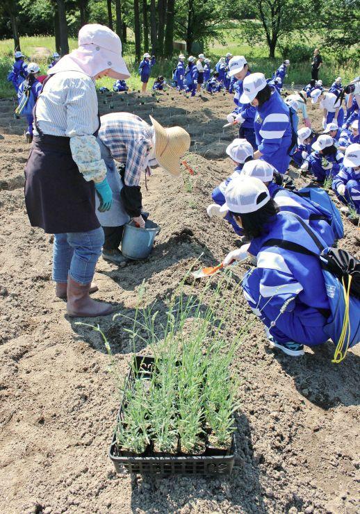 多くの株が枯れたラベンダー畑を再生しようと、地元中学生らが参加した植栽作業=村上市梨木
