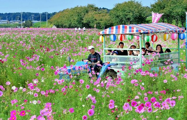 多くの来場者でにぎわった「コスモスまつり」=2017年10月8日、福井市の宮ノ下コスモス広苑