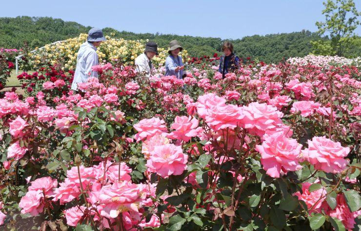 ほのかな香りを漂わせ、咲き誇るバラ=7日、長岡市の国営越後丘陵公園