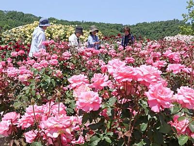 幸せな香り胸いっぱい 長岡・丘陵公園バラ見頃