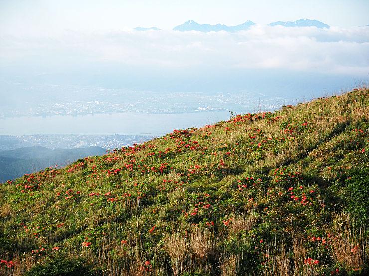 高ボッチ高原で見頃を迎え、斜面を赤く彩るレンゲツツジ